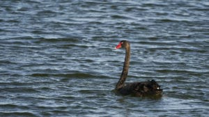 Black Swan at the Copley Retention Dam