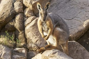 Yellow footed rock wallaby, photo by Tim Froling
