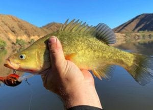 A healthy golden perch recently caught at Aroona Dam Photo Credit Alex Williams RecFish SA